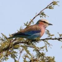 Oiseaux de Tanzanie