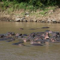 Hippopotames au Kenya