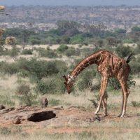 Girafes, babouins au Kenya