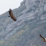 vautour