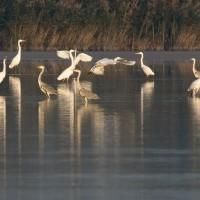 Oiseaux de la Dombes