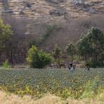 plantation de pavot