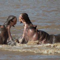 Kenya  combat entre mâles