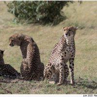 Guépard, hyène et autres